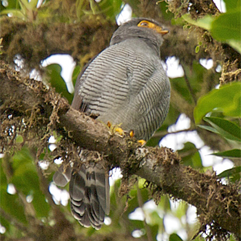Barred Forest Falcon Jenis Alap-alap