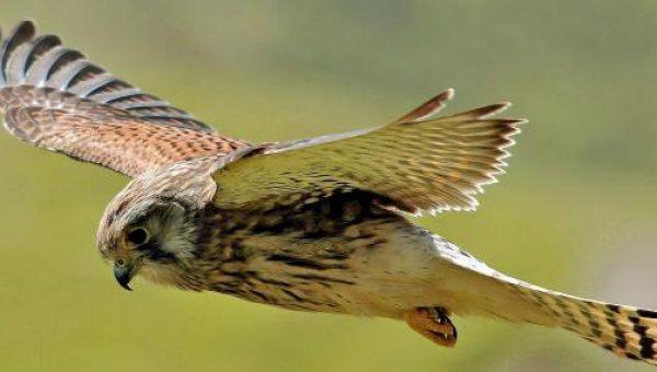 Kestrel Sparrow Hawk Jenis alap alap