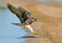 Lanner Falcon - Mengenal Burung Pemangsa Bird Of Prey - BOP