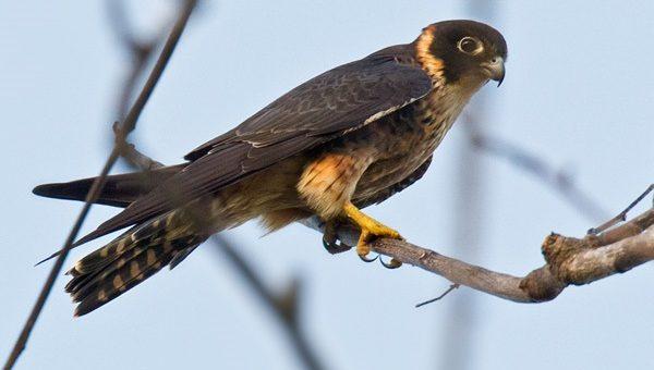 alap-alap macan Oriental Hobby_Falco severus papuanus_Alotau, Papua New Guinea jenis alap-alap