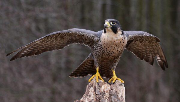 Alap-alap Kawah peregrine-falcon jenis alap-alap