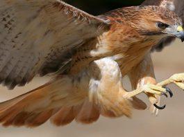 Mengenal Burung Pemangsa Bird Of Prey - BOP