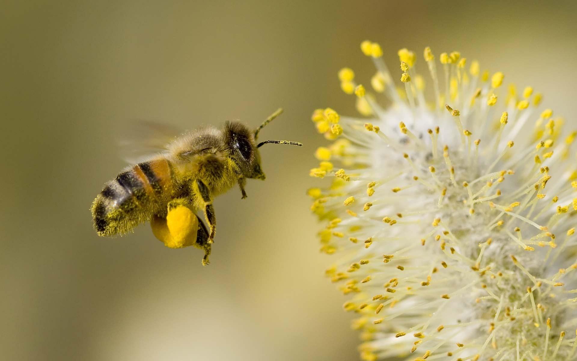Bagaimana Lebah Menghasilkan madu? Tampak kaki seekor lebah penuh dengan serbuk sari saat mencari nektar.