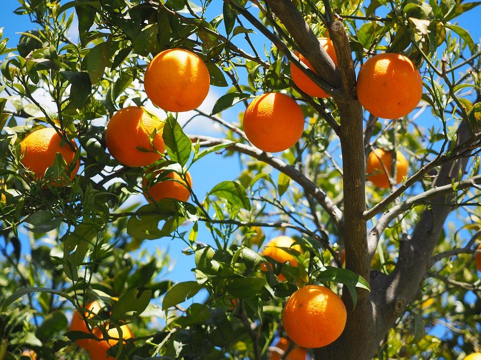 Pohon Jeruk memiliki aroma bunga yang segar