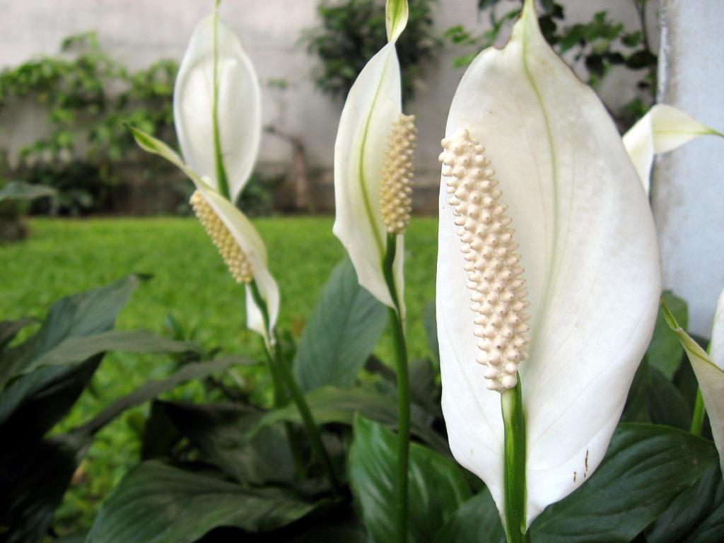 Bunga Lili Sebagai tanaman penyegar udara rumah