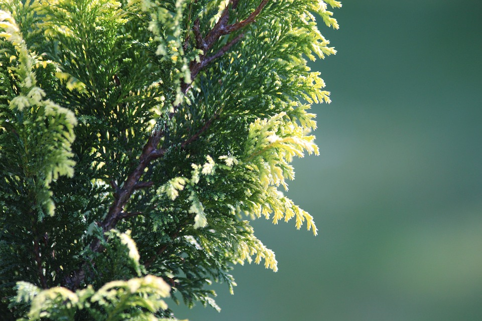 Pohon cemara untuk menjaga udara agar tetap lembab dan tidak kering