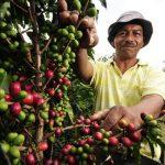 Pohon kopi yang menjaga kelembaban udara