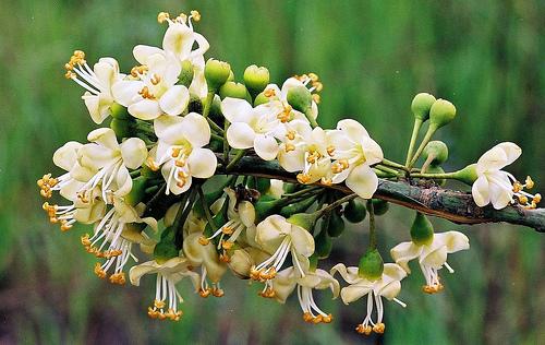 Bunga randu - persiapan lahan Vegetasi Budidaya Lebah Trigona Klanceng