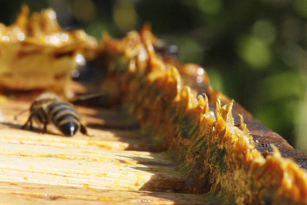 Propolis pada lebah madu apis