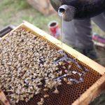 Manfaat dan efek memberi air gula pada lebah