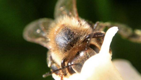 Di dalam nektar banyak kandungan selain dari gula. credit: http://beekeepinglikeagirl.com/should-i-feed-my-bees/