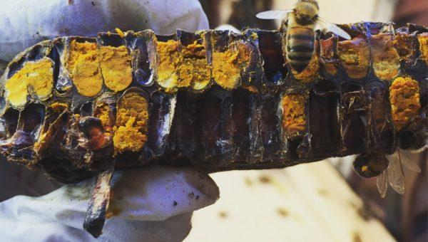 Selain madu, lebah juga membutuhan pollen yang berasal dari serbuk sari. credit : http://beekeepinglikeagirl.com/should-i-feed-my-bees/