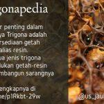 Ketersediaan Getah - Resin merupakan faktor penting dalam keberhasilan budidaya Trigona Klanceng